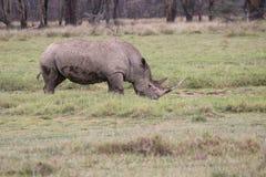 rhino Lizenzfreies Stockbild