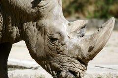 Rhino. African Rhino Royalty Free Stock Photos