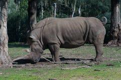 rhino Lizenzfreies Stockfoto