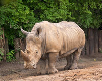 rhino Fotos de Stock Royalty Free