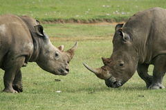 Rhino. A photo of a rino taken in Kenya Stock Photo