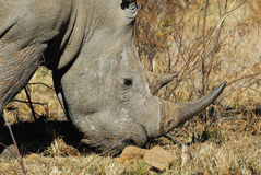 Rhino. Ceros at Pilanesberg National Park. South Africa royalty free stock photography