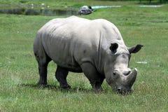 Free Rhino Royalty Free Stock Image - 7009906