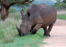 Rhino. A White Rhinoceros (Ceratotherium simum) in South Africa Stock Images