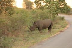 rhino Fotografia Stock Libera da Diritti
