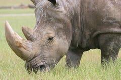 Rhino. Close shot of Rhino head and shoulders Stock Photo