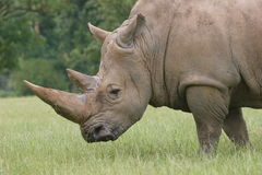 Rhino. Grazing Royalty Free Stock Photo