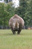 Rhino. Grazing head on to camera Stock Photography
