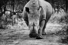 Rhino advancing and looking at you royalty free stock image