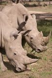 Rhino in Africa Stock Images