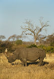 Rhino in African Environment Stock Photos
