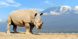 Rhino. African white rhino on Kilimanjaro mount background, National park of Kenya stock photography