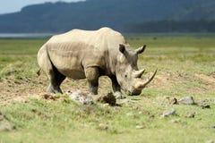 Rhino. African White Rhino, Lake Nakuru, Kenya stock photography