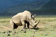 Rhino Royalty Free Stock Photo