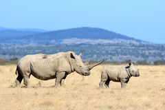 Rhino. African white rhino, National park of Kenya royalty free stock photo