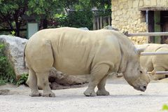 Rhino. African white rhino in the zoo royalty free stock images