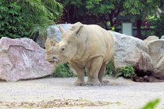 Rhino. African white rhino in the zoo royalty free stock photo