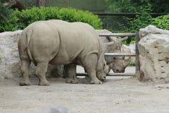 Rhino. African white rhino in the zoo stock image