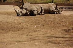 Rhino alesato Fotografia Stock
