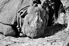 Rhino, Animal, Mammal, Big Game Stock Photography