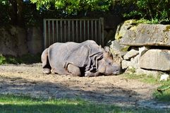 Rhino, Animal, Mammal, Big Game Royalty Free Stock Photography
