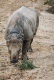 Rhino. Animal in San Diego Zoo royalty free illustration
