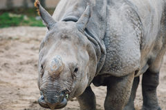 Rhino. Animal in San Diego Zoo royalty free stock images