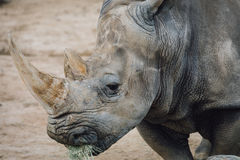 Rhino. Animal in San Diego Zoo Stock Photos
