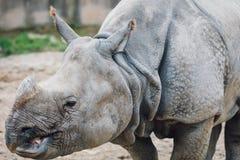 Rhino. Animal in San Diego Zoo Royalty Free Stock Photos