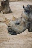 Rhino. Animal in San Diego Zoo Royalty Free Stock Photography