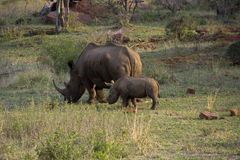 Rhino with baby. Rhino with young rhino, six month old royalty free stock photos