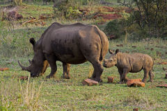 Rhino with baby. Rhino with young rhino, six month old royalty free stock images