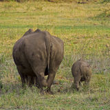 Rhino with baby. Rhino with young rhino, six month old stock photo