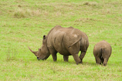 Rhino and baby Royalty Free Stock Photo