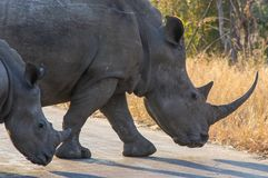 Rhino and baby. Female rhino an his breading in Kruger Park, South Africa stock photos