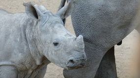 Rhino baby. With her mother in the South African bush Stock Photos