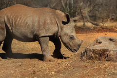 Rhino. Baby Rhino walking alone in wild Royalty Free Stock Photography