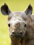 Rhino. Baby young horn muzzle face head africa Botswana grass Stock Image