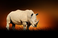 Rhino on the background of sunset Royalty Free Stock Photography