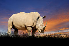 Rhino on the background of sunset sky Stock Photo