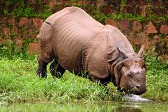 Rhino bathing in river Royalty Free Stock Photo