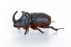 Rhino beetle Stock Photography