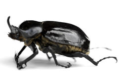 Rhino Beetle. This image shows a horned rhino beetle Stock Images