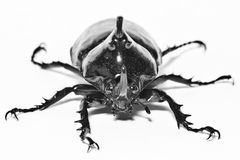 Rhino Beetle B&W. Alive rhinoceros beetle in a black edition from a studio setup Royalty Free Stock Photos