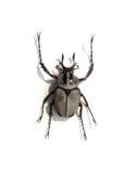 Rhino beetle bug Stock Image