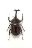 Rhino beetle bug Royalty Free Stock Photo