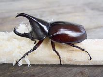 Rhino beetle Royalty Free Stock Image