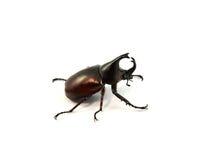 Rhino beetle - Coleoptera Stock Images