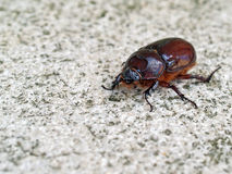 Rhino beetle female Stock Photos