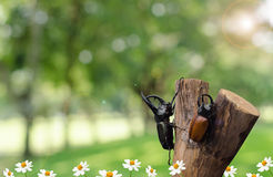 Rhino beetle in garden Royalty Free Stock Images